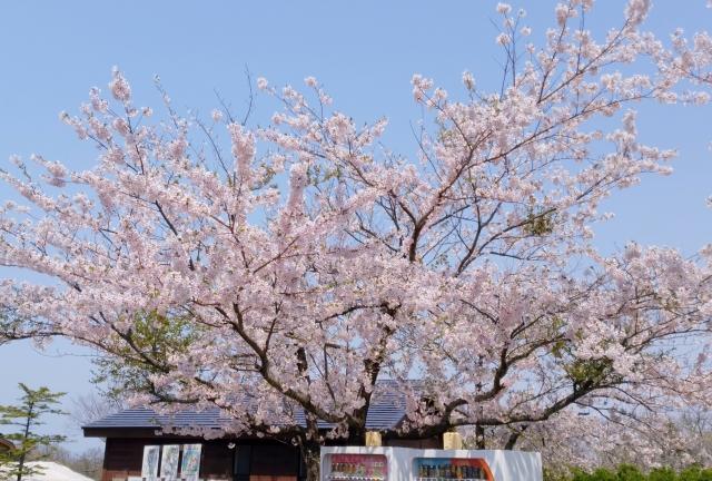 大森山桜2018042800003