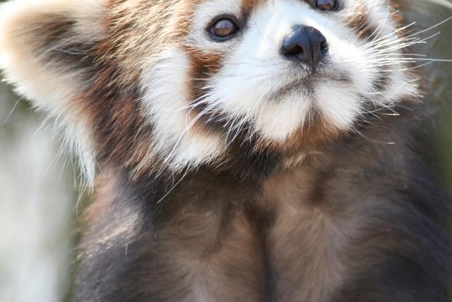 レッサーパンダ大森山動物園201804280007