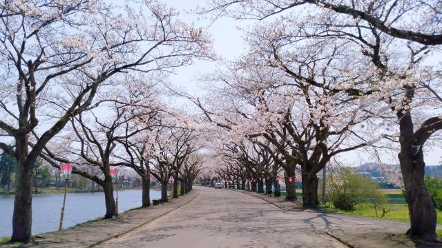 鷹巣中央公園 桜 201804290002