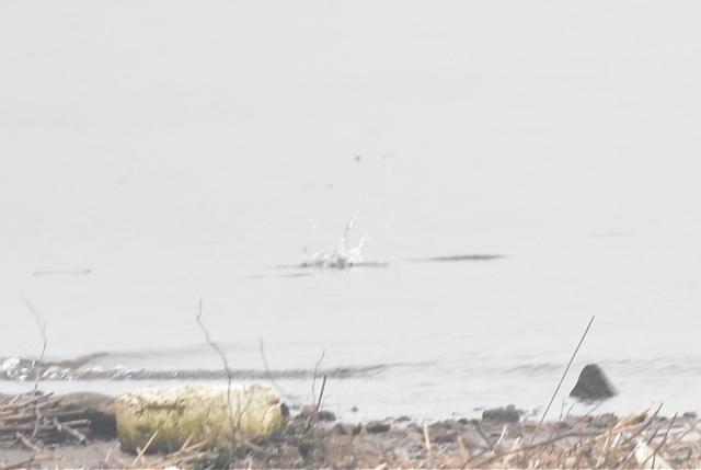 カワセミ米代川201805010003