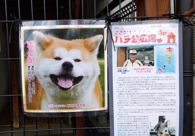 大館秋田犬20180500003
