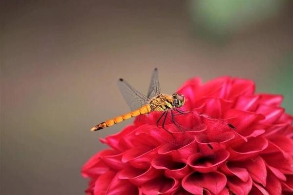 蜻蛉トンボ