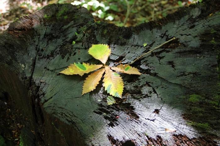 ブナ 枯れ葉