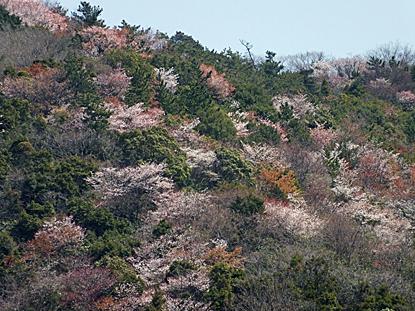 yamazakura-02.jpg