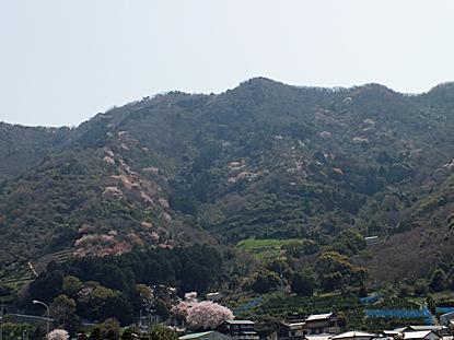 yamazakura-03.jpg