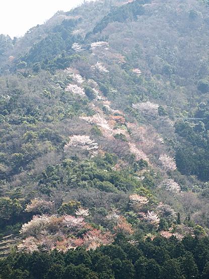 yamazakura-04.jpg