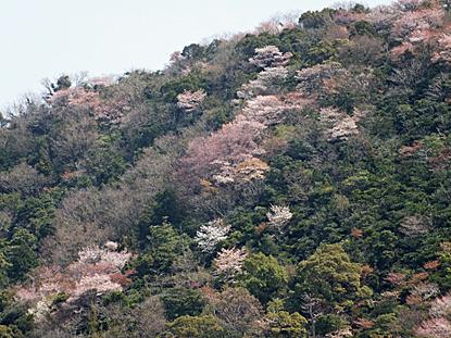 yamazakura-07.jpg