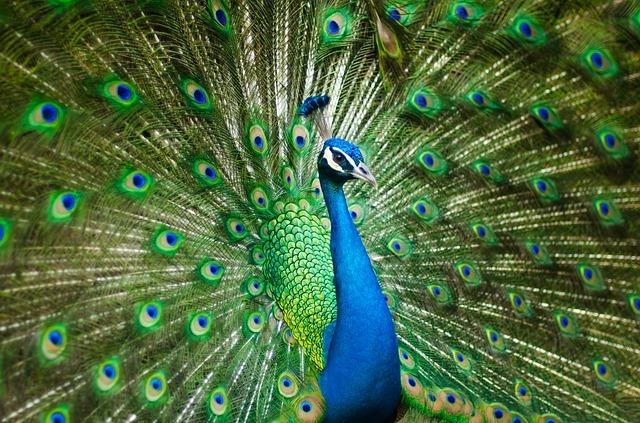 beautiful-male-peacock-2363750_640.jpg
