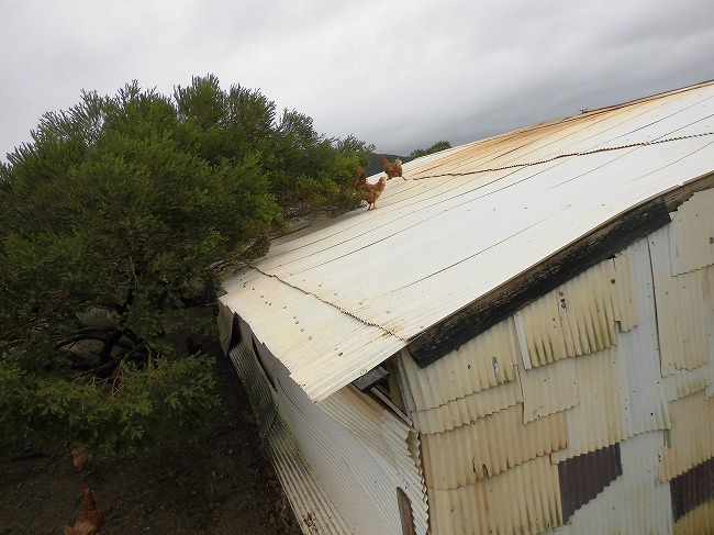 屋根に上るニワトリ