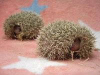 Baby_Hedgehog_I.jpg