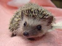 Baby_Hedgehog_K_20180430153055df6.jpg