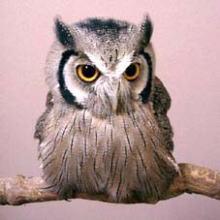 Owl_OtusLeucotis.jpg