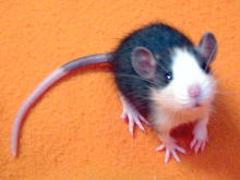Rat_Husky_2.jpg