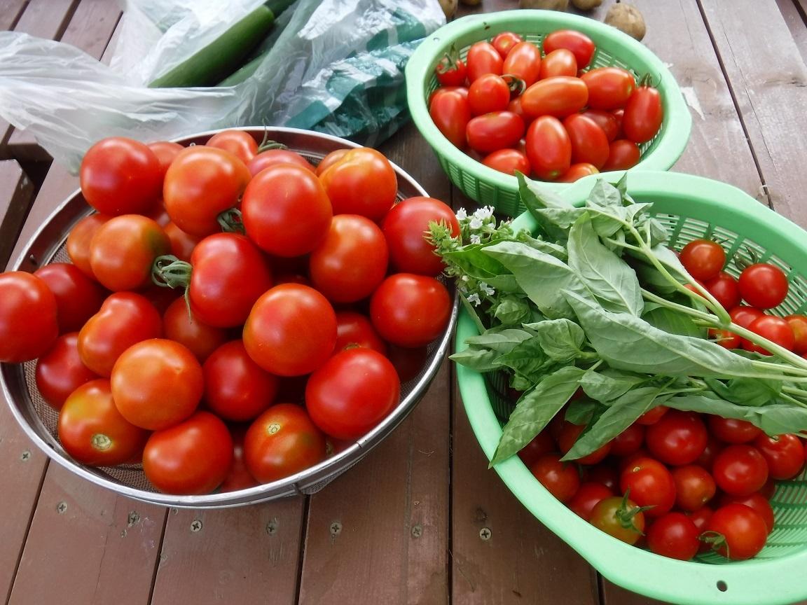 大量のトマト収穫.jpg