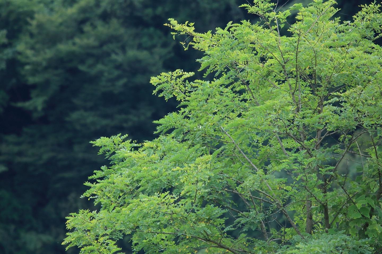 ブログ 河原に佇む楡の木.jpg