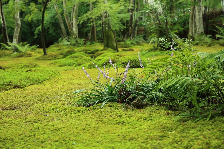 ブログ 苔庭のヤブラン.jpg