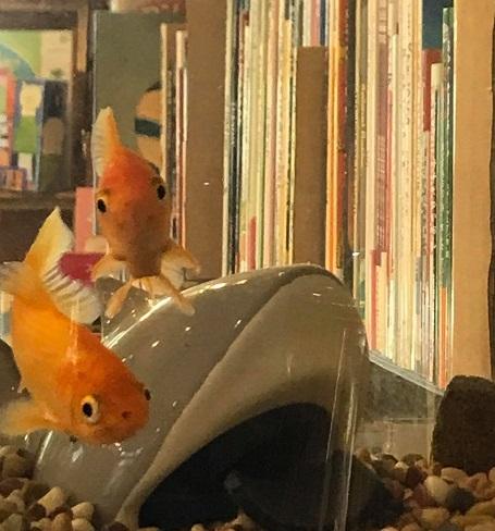 親金と同期のグーフォ隊金魚