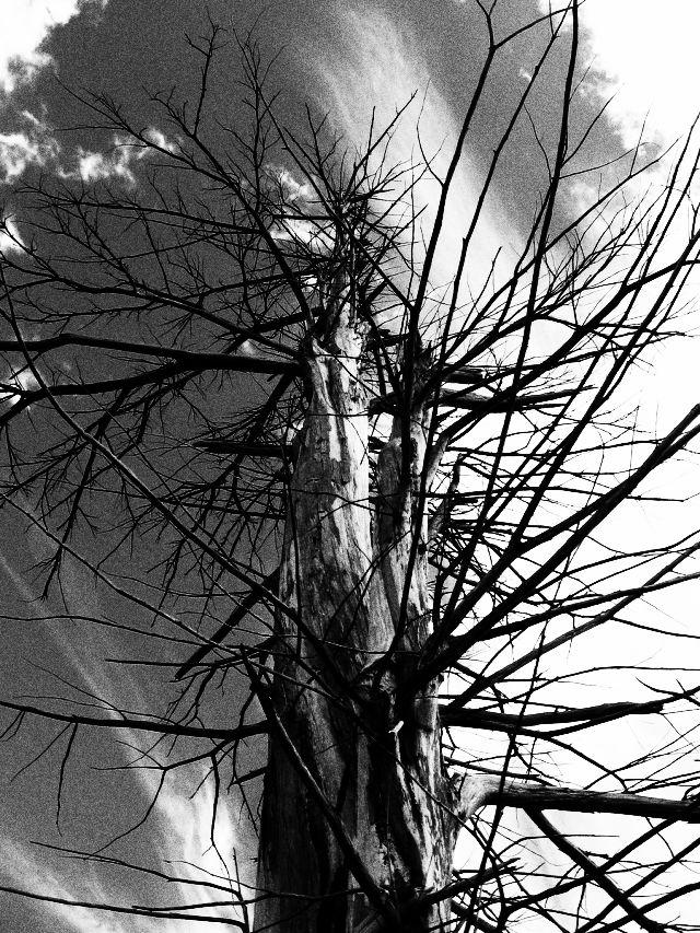 アララギ イチイ 大木
