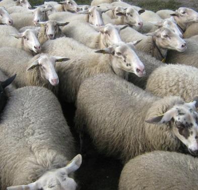 羊 群れ 群集