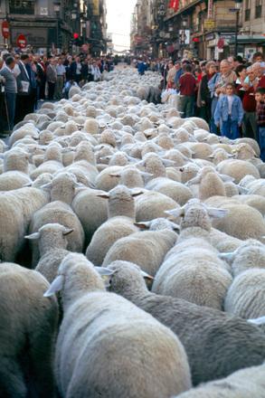 羊 混雑 渋滞
