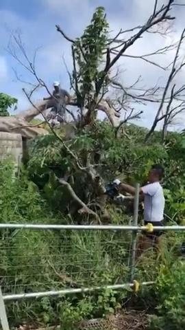 ガジュマルの伐採作業‐①