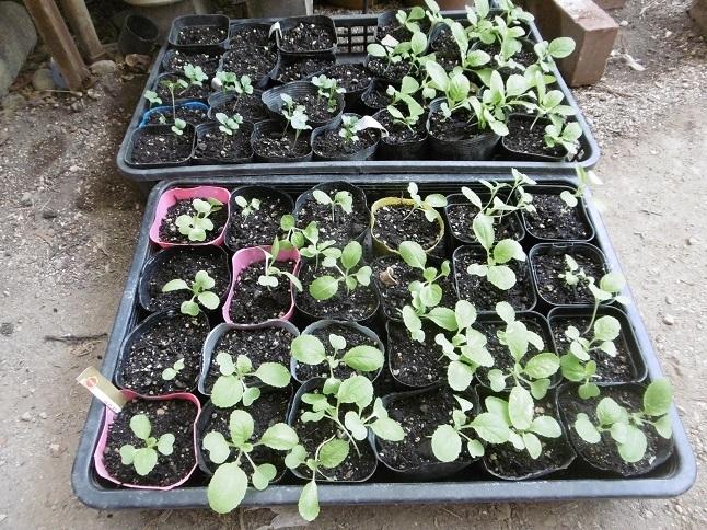 白菜の成長