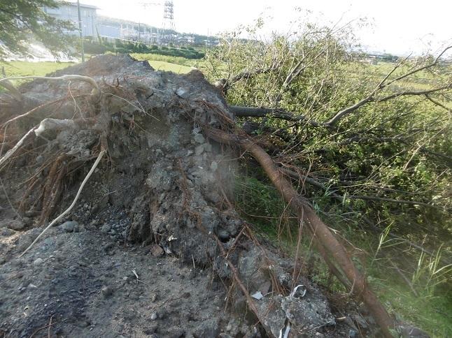 台風21号の被害桜