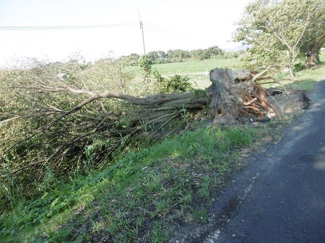 台風21号の被害桜の木
