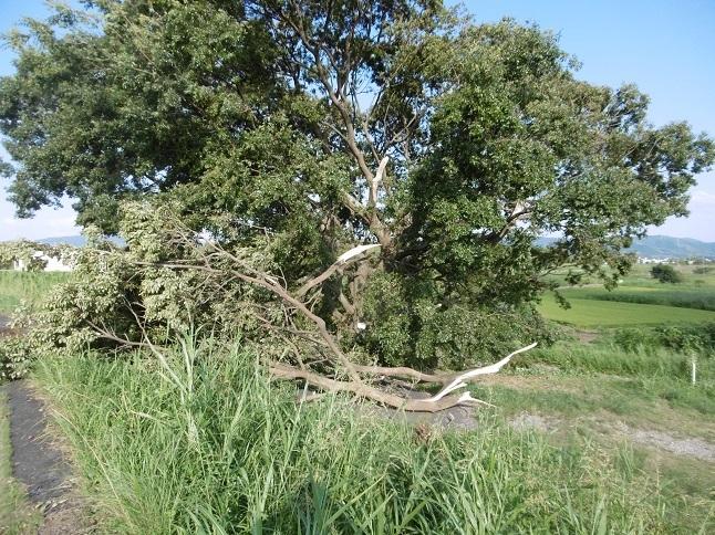 台風21号の被害赤い実モッコク