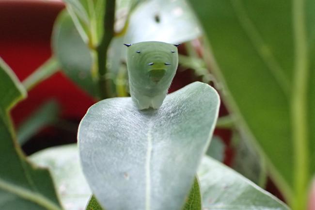 アオスジアゲハ幼虫