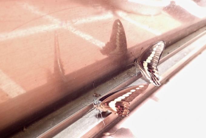 アオスジアゲハの羽化