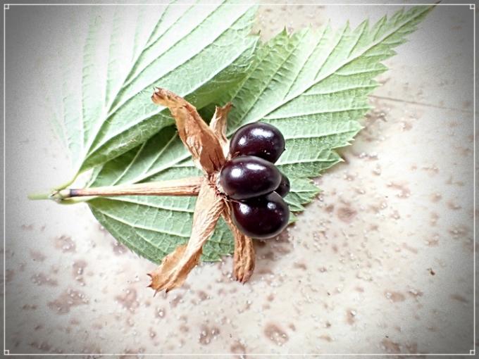 シロヤマブキの果実基本2