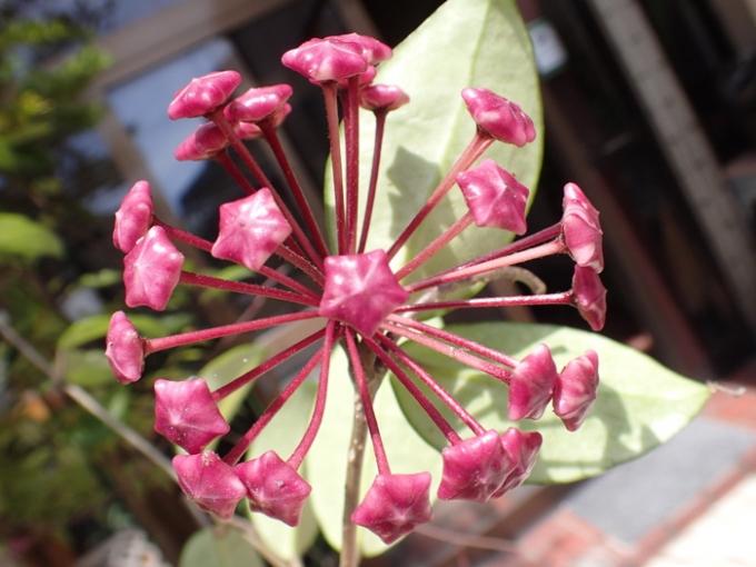 ホヤの花の蕾