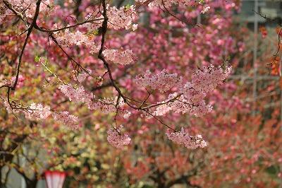 20170414_花のまわり道in八重桜IMG_4502b40