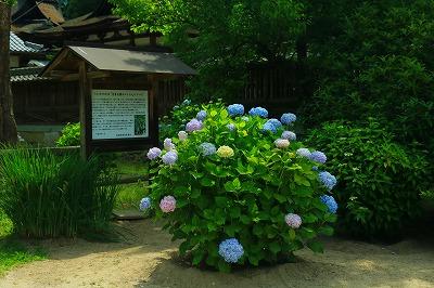 20180604_吉香神社境内アジサイIMG_8245