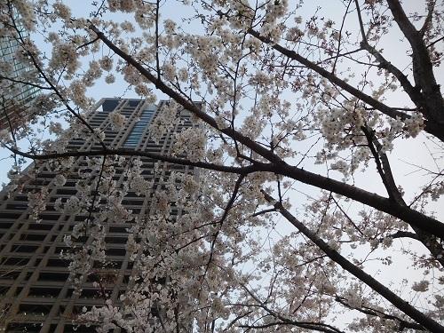 大阪中之島の桜1