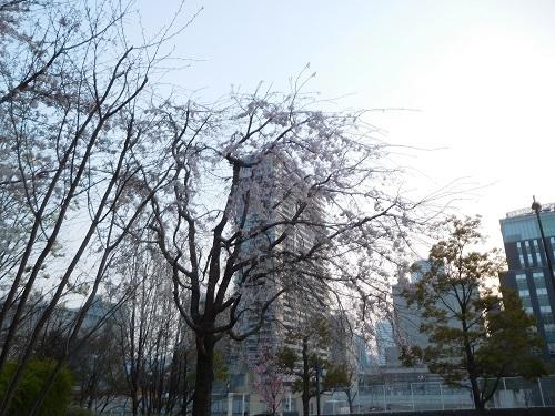 中之島の桜2
