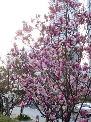 中之島の春
