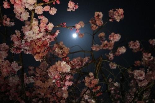 我が家の桜10
