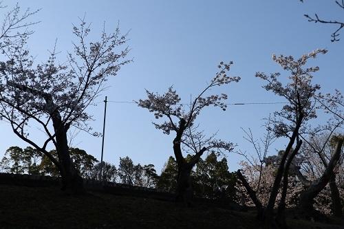 公園の桜ー朝2