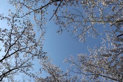 公園の桜ー朝9