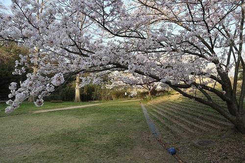 公園の桜6