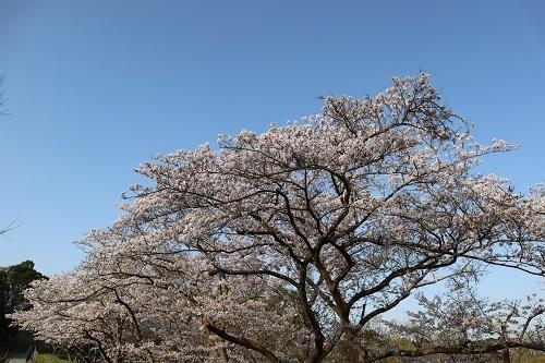 公園の桜8