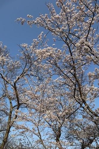 公園の桜9