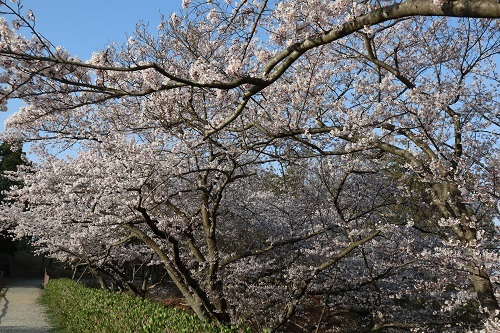公園の桜ー朝1