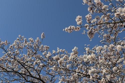 公園の桜ー朝3