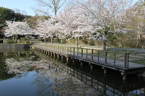 公園の桜ー朝6