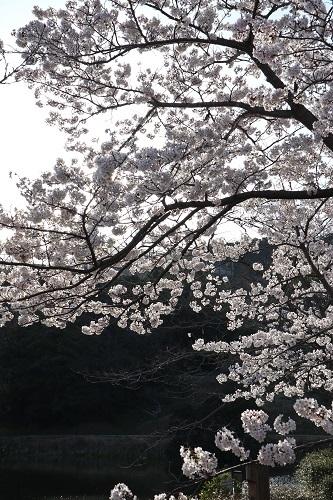 公園の桜ー朝8