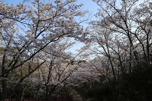 公園の桜ー朝10