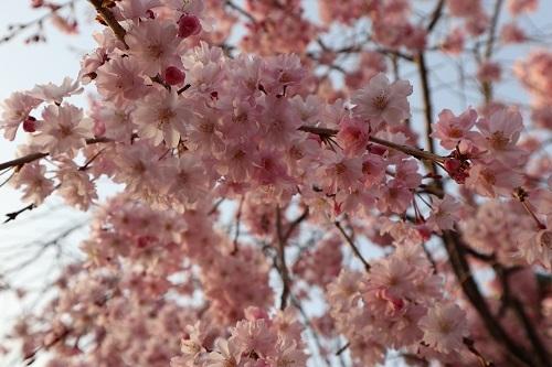 我が家の桜3